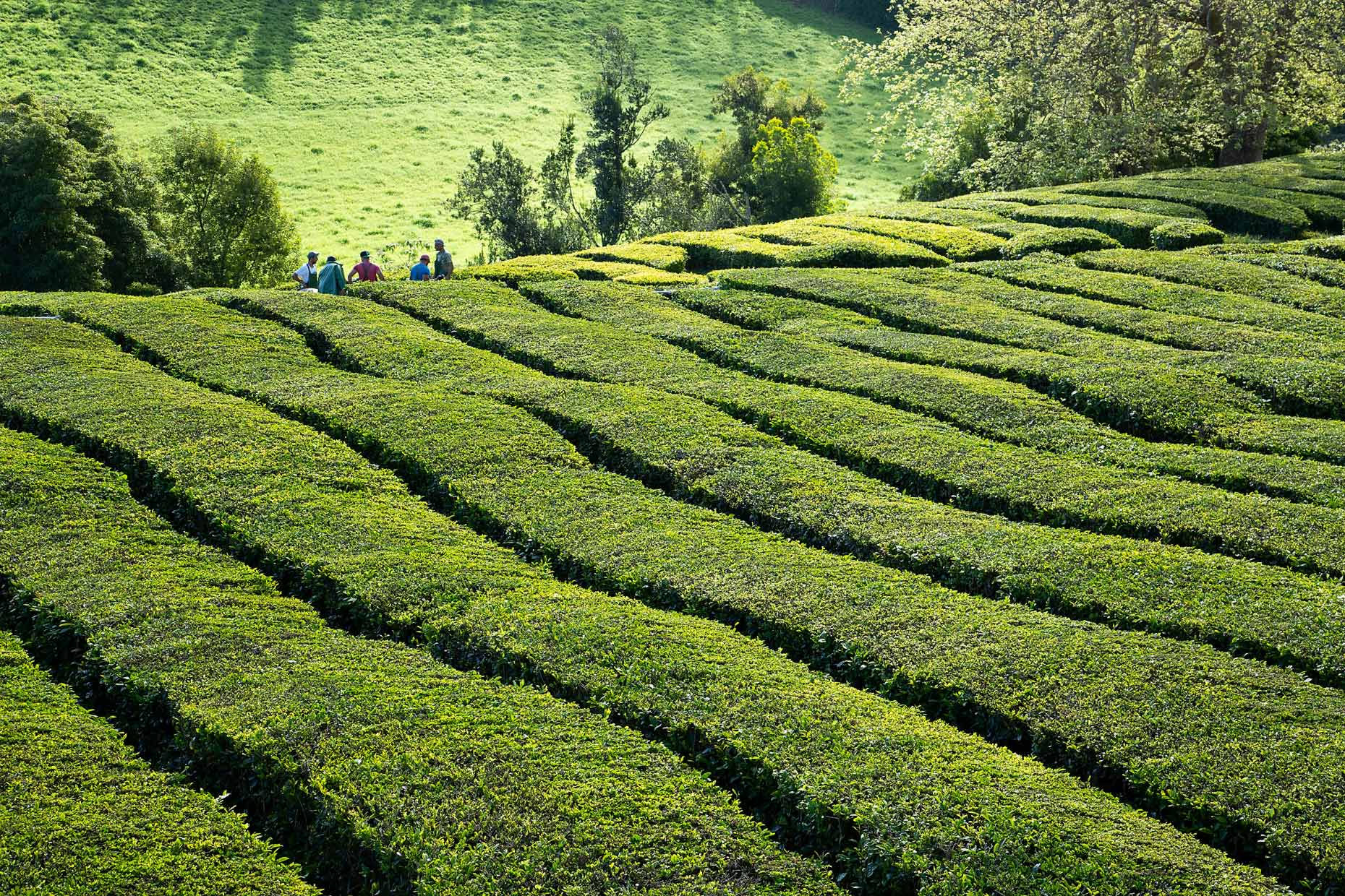 Sao-Miguel-Azores-Gorreana-Tea-Plantation-Portugal-Travel-Photography-Caryn-B-Davis